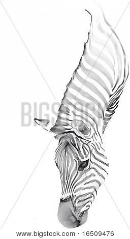 zebra - black lines