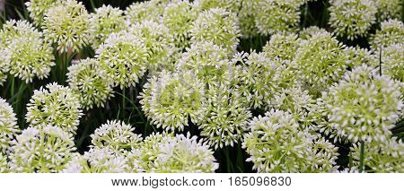 Background of White Artificial Allium Giganteum Blossoms or Giant Onion Flower for Home and Office Decoration without The Care.