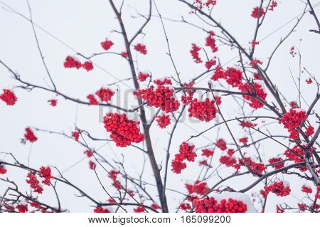 rowan branches covered with hoarfrost on a white background