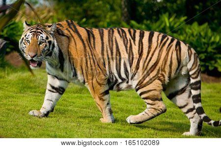 Royal Bengal Tiger Giant Size In Sunlight with Green Background