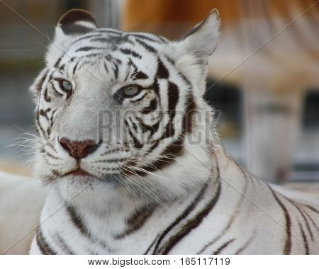 White Bengal Tigers at a zoo in Maine