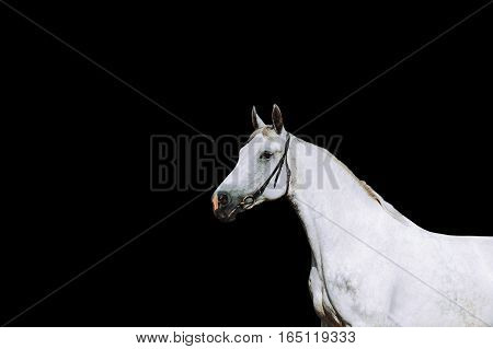 Portrait of a strong white horse on a black background. Horse in bridle isolated on a black background