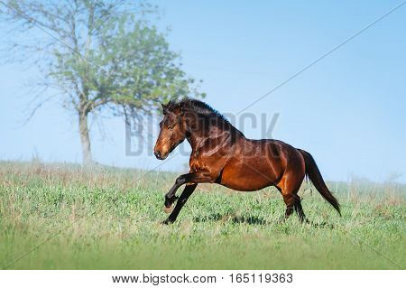Brown beautiful horse galloping on the green field on a light background. The bay horse running in freedom