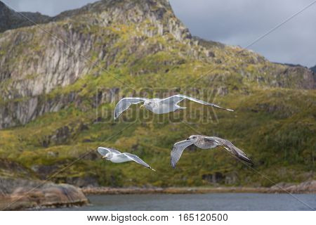 Three gulls in flight on coast with mountains