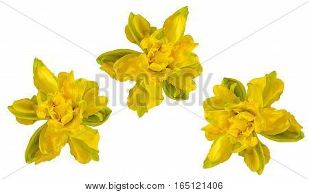 Yellow Daffodil (narcissus) Flower, Close Up, White Background.