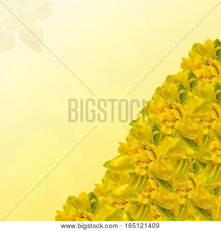 Yellow Daffodils (narcissus) Flowers, Close Up, Texture Background.