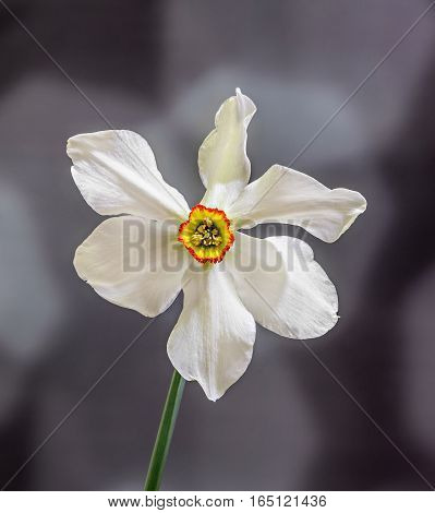 White Daffodil (narcissus) Flower, Close Up, Gradient Background.
