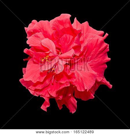 Hibiscus Rosa-sinensis Red Flower, Known As Chinese Hibiscus, China Rose, Hawaiian Hibiscus, Shoebla