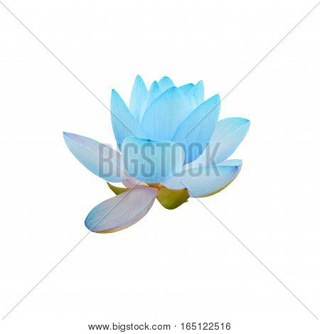 Blue Nuphar Flowers, Water-lily, Pond-lily, Spatterdock, Nelumbo Nucifera, Also Known As Indian Lotu
