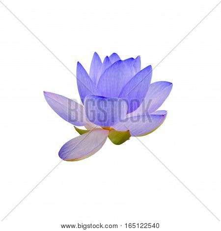 Blue white yellow nuphar flowers green field on lake water-lily pond-lily spatterdock Nelumbo nucifera also known as Indian lotus sacred lotus bean of India lotus.