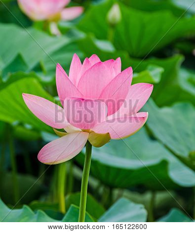 Pink white yellow nuphar flowers green field on lake water-lily pond-lily spatterdock Nelumbo nucifera also known as Indian lotus sacred lotus bean of India lotus.