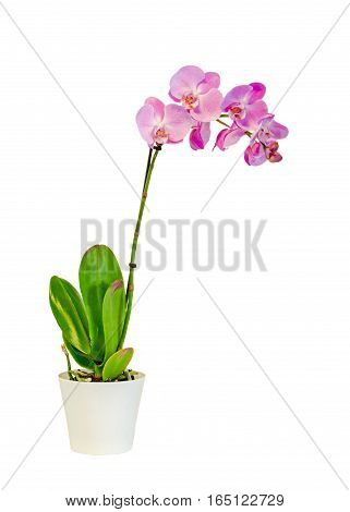 Pink Branch Orchid  Flowers In A White Vase, Orchidaceae, Phalaenopsis Known As The Moth Orchid, Abb