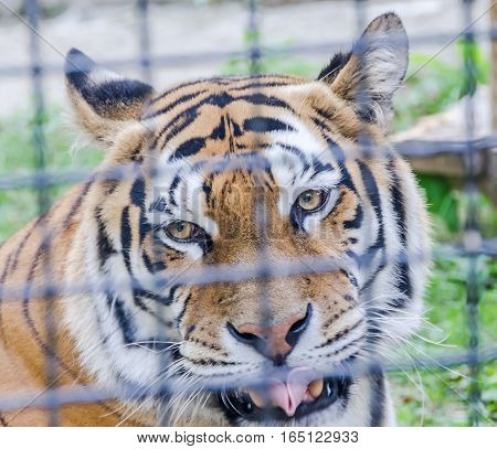 Brown Tiger At The Zoo Garden, Fence,  Sitting, Close Up