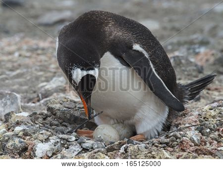 Gentoo Penguin on the nest with egg in Antarctica