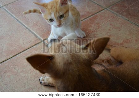 Cat White Golden and Dog Brown Playing