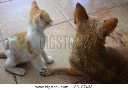 Cat White and Golden with DOg Brown Look Away