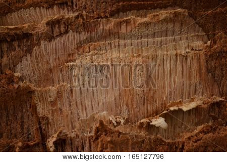 fresh notch on the trunk of an oak light brown wood with beautiful texture
