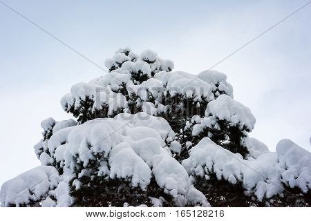 Tree With Snow Hanging Over It With Sky Background