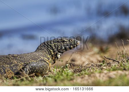 Nile crocodile in Kruger national park, South Africa ; Specie Varanus niloticus family of Varanidae