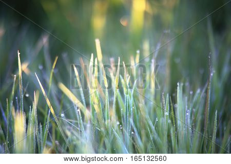 Dew on grass in the morning. Close up of grass with dew. Grass with dew on sunny blurred backdrop. Dew on spring grass in morning sunbeams.