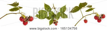 Raspberries On A Branch With Leaves. On A White Background. Set
