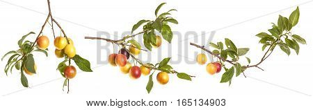 Cherry-plum Branch With Berries And Leaves Isolated On White Background