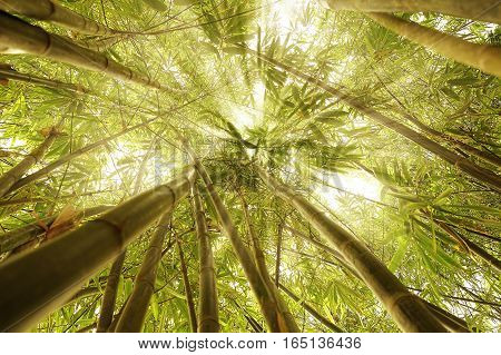 Bamboo trees sunrays concept image meditation enlightenment and zen