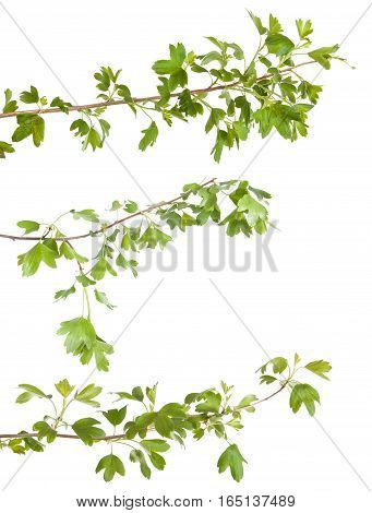 Currant Bush Branch Isolated On White Background