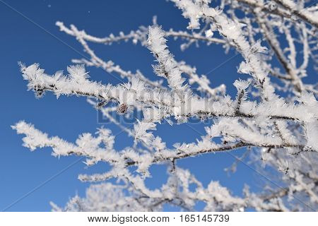 Frosted tree branch with berry in Minnesota