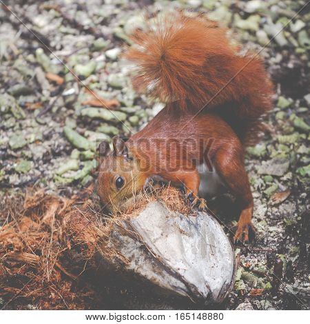 wild Red squirell close up in forest
