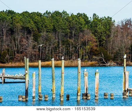 GULLS SITTING AND STANDING ON AND FLYING OVER PILINGS AND DOCK