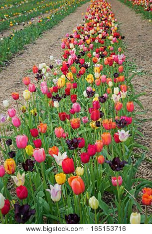 Row Of Colorful Tulips In Many Variety