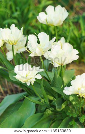 White pluginy zelenotsvetnaya Tulip (lat. Tulipa), a variety of White Parrot on a bed
