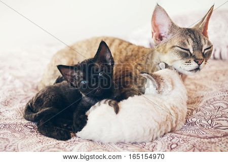 Mum cat with her kittens. Love and tenderness. Big gray cat and small kittens sleeping together, hugging each other.  Cute cats, family. Devon Rex curly cats breed