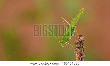 Insect similar to grasshopper or locust. Adult phaneroptera sits on a a blade of grass. Directed downwards. Blurred background with green and red spots.