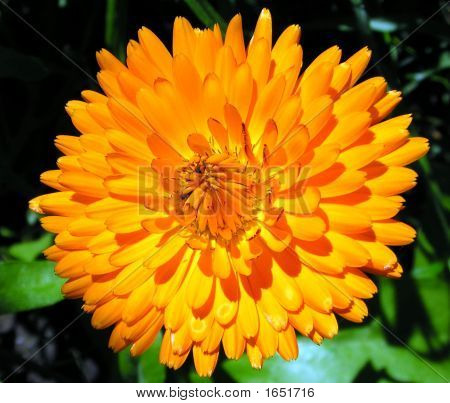 Pot Marigold Flower
