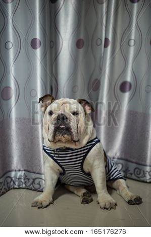 English Bulldog sit on the floor and see you