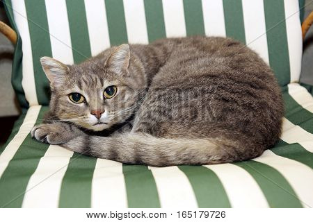 Close up view of grey cat lying on striped green and white chair