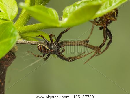 Two Spiders Battle