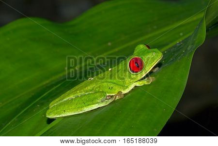 Red-eyed tree frog sitting on a big leaf at night at Osa Peninsula Costa Rica
