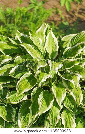Host wavy (lat. Hosta undulata). vertical green leaves with a white stripe