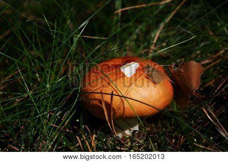 Orange mushroom among the green forest litter