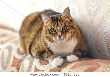Staring Ginger Cat on a bed. Curiosity domestic animal