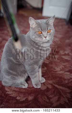 pets: the cat sits on a carpet and plays with wooden plaochka. breeds Scottish Strait