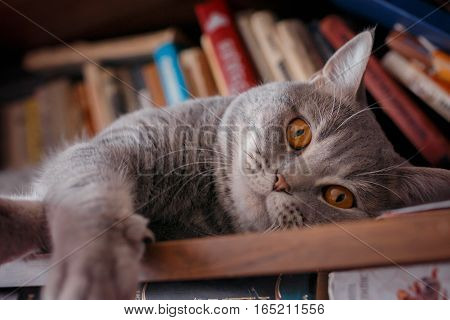pets: the cat plays on the shelf with books. breeds Scottish Strait