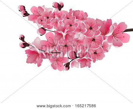 Japanese sakura. Lush branch dark pink cherry blossom close-up. Isolated on white background. Vector illustration