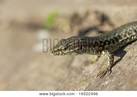 Lizard In Very Close View