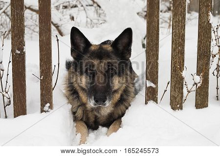 A shepherd dog guarding a gap in the wooden fence, snow while lying in the front outdoor shot