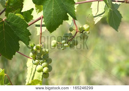 Green grapes ripen on branch of the vine on hot summer day. Photo Close-up
