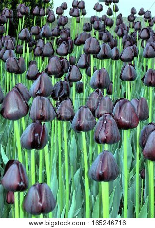 The black tulips in Ottawa Canada May 18 2008